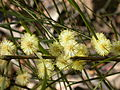 Acacia sp. (5103650434).jpg