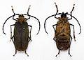 Acanthinodera cumingii (10948705294).jpg