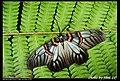 Achelura sanguifasciata (5125698573).jpg