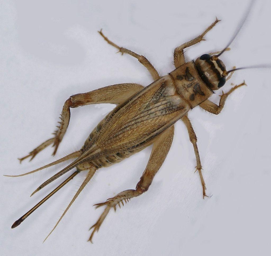MUISTA TEHDÄ METADATAT AnalogExif-ohjelmalla! ORIGINAL FILE NAME: CAPTIONS IN DIFFERENT LANGUAGES: EN: Home cricket (acheta domesticus) - credit to Geyersberg, Professor emeritus Hans Schneider SV: Hussyrsa (acheta domesticus) - kredit till Geyersberg, Professor emeritus Hans Schneider LINK IN CAPTION: https://en.wikipedia.org/wiki/House_cricket#/media/File:Acheta_domesticus,_adultes_Weibchen.jpg LINK TO SOURCE: https://en.wikipedia.org/wiki/House_cricket#/media/File:Acheta_domesticus,_adultes_Weibchen.jpg IMAGE ADDRESS: https://upload.wikimedia.org/wikipedia/commons/thumb/9/95/Acheta_domesticus%2C_adultes_Weibchen.jpg/1024px-Acheta_domesticus%2C_adultes_Weibchen.jpg DOWNLOAD PLATFORM: https://en.wikipedia.org/ TITLE: Adultes Weibchen. Auf den Vorderflügeln fehlen Laut bildende Strukturen, der Legebohrer ist stabförmig und am Ende leicht keulenförmig verdickt. KEYWORDS: AUTHOR: Geyersberg, Professor emeritus Hans Schneider - https://commons.wikimedia.org/wiki/User:Geyersberg LINK TO AUTHOR'S PAGE: https://commons.wikimedia.org/wiki/User:Geyersberg COMMENTS: Geyersberg, Professor emeritus Hans Schneider COPYRIGHT: Wilhelm Thomas Fiege - CC BY-SA 4.0 THIS INFORMATION WAS RECORDED ON 2.4.2021.