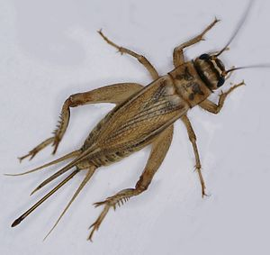 House cricket - Image: Acheta domesticus, adultes Weibchen