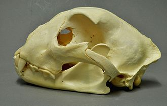 Cheetah - The skull of the cheetah is relatively short, and the sagittal crest is poorly developed.