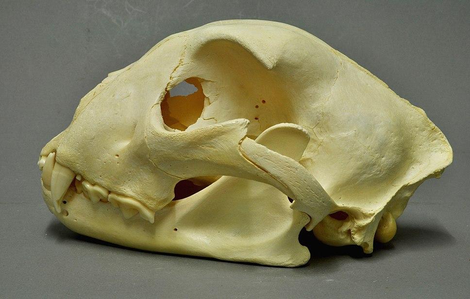 Acinonyx jubatus 02 MWNH 717