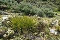 Aciphylla aurea kz17.jpg