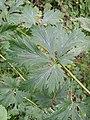 Aconitum variegatum subsp. variegatum sl4.jpg