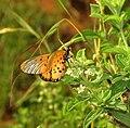 Acraea neobule subsp neobule, Pietersburg, Kellermann, b.jpg