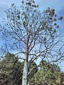 Acrocarpus fraxinifolius KR17 Bhowali Tree 1.jpg