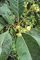 Acronychia pedunculata 25.JPG