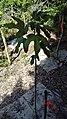 Acropogon bullatus.jpg