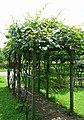 Actinidia chinensis - Urban Greening Botanical Garden - Kiba Park - Koto, Tokyo, Japan - DSC05417.jpg