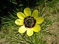 Adonis aestivalis inflorescence (34).jpg