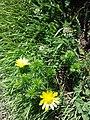 Adonis vernalis sl33.jpg