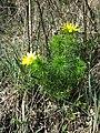 Adonis vernalis sl56.jpg