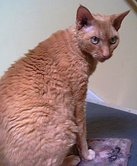 Adult Devon Rex Male.JPG