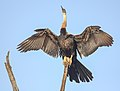 African Darter drying its wings after fishing Gambia.jpg