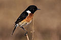 African Stonechat, Saxicola torquatus at Rietvlei Nature Reserve, South Africa (10055137796).jpg