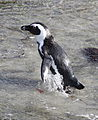African penguin, Spheniscus demersus, at Stony Point, Betty's Bay, Western Cape, South Africa (25260443685).jpg