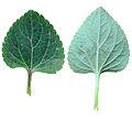 Ageratum leaf.jpg