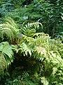 Aglaomorpha meyeniana BotGardBln07122011E.JPG