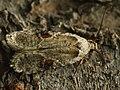 Agonopterix alstroemeriana - Poison hemlock moth (26984459808).jpg