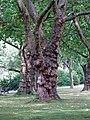 Ahorn-ostpark-ffm002.jpg