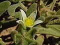 Aizoon hispanicum 2b.JPG