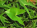 Alismataceae - Sagittaria montevidensis.JPG
