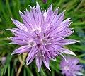 Allium schoenoprasum W.jpg