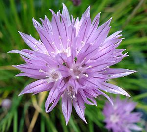 Chives - Fully open flower