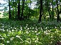 Allium ursinum Baranya.jpg