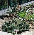 Aloe descoingsii Liberec 1.jpg