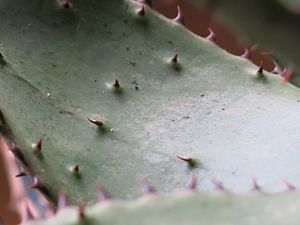 Aloe ferox - Spines on the inner side of a leaf