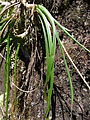 Aloe sp. long grass 3 (10506875794).jpg