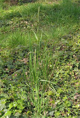 Wiesen-Fuchsschwanz (Alopecurus pratensis)