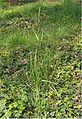 Alopecurus pratensis Grote vossenstaart (1).jpg