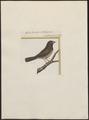 Amadina undulata - 1700-1880 - Print - Iconographia Zoologica - Special Collections University of Amsterdam - UBA01 IZ15900191.tif