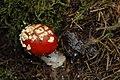 Amanita muscaria (29946072121).jpg