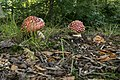 Amanita muscaria 3 (21877203902).jpg