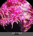 Amaranthus caudatus sl9.jpg