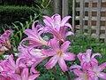 Amaryllis belladonna 03.jpg