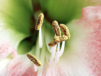 Stamen - Stamens of a Hippeastrum with white filaments and prominent anthers carrying pollen
