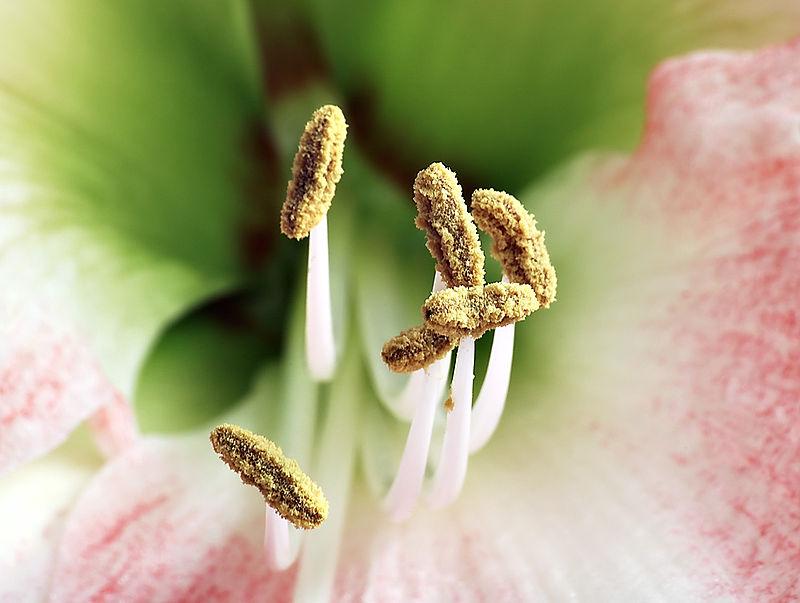 anthère de l'amaryllis
