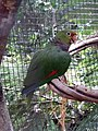 Amazona vinacea -Parque das Aves, Foz do Iguacu, Brazil-8a.jpg