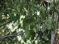 Amazona xantholora -Xcaret Eco Park -Mexico-8b.jpg