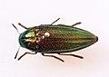 Amblysterna natalensis 10-01-13 - Dodoma - Tanzania (9663551296).jpg