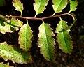 Amborella trichopoda 4.jpg