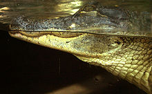 Description de l'image American-alligator-florida-aquarium-tampa.jpg.