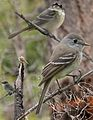 American Dusky Flycatcher From The Crossley ID Guide Eastern Birds.jpg