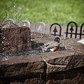 American Robin, bathing in the fountain, 01.jpg