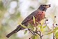 American Robin (38227849295).jpg
